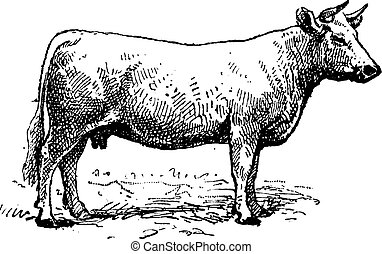 Charolais cattle, vintage engraving. - Charolais cattle,...