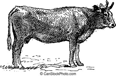 Parthenais, a french cattle breed, vintage engraving.