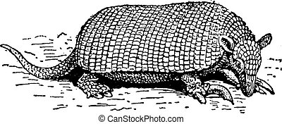Giant armadillo or Priodontes maximus vintage engraving -...