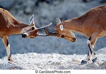 Wildlife Photos - Ibex - Two Ibex Mountain goats fight over...