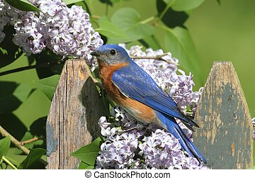 Bluebird with Lilac flowers - Female Eastern Bluebird...