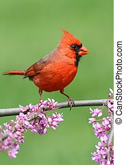 Cardinal On A Branch - Male Northern Cardinal cardinalis on...