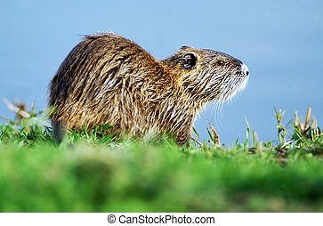 Wildlife Photos - Nutria - Nutria or coypu near a lake.