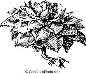 Houseleek or Sempervivum sp., vintage engraving - Houseleek...