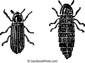 Firefly or Lampyridae, vintage engraving - Firefly or...