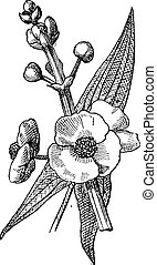 Sagittaria or Sagittaria sp, vintage engraving - Sagittaria...