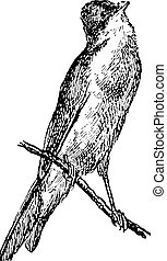 Warbler or Sylviidae, vintage engraving