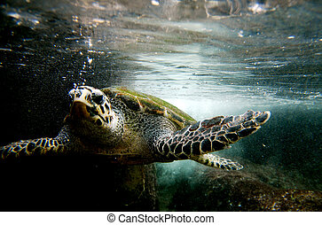 Wildlife Photos - Sea Turtle - Green sea turtle swimming...