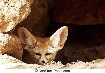 Wildlife Photos - Fox - Afghan fox in a cave.