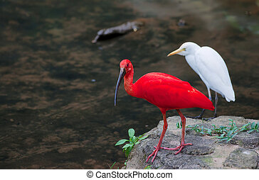 red ibis and cattle egret birds