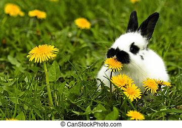 mottled rabbit eating a dandelion in the grass