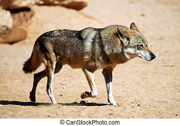 Wildlife Photos - Wolf - Gray wolf in the desert.