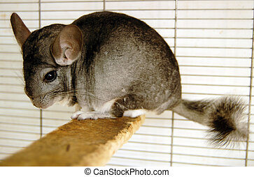 Wildlife Photos - Chinchilla - Chinchilla in cage.