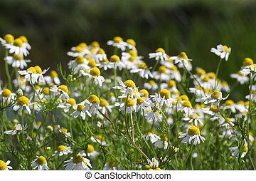 chamomile spring scene