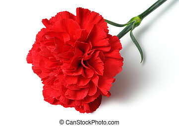 Red carnation on white background horizontal - Close up of...