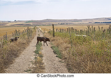 Cattle in a dry agricultural landscape in Ciudad Real...