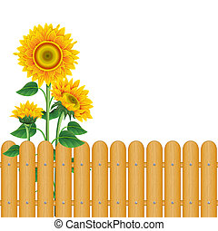 Background with sunflowers - Sunflowers and a fence on a...