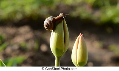 little spring snail on the tulip
