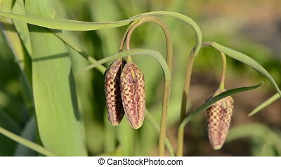fritillary  in the spring