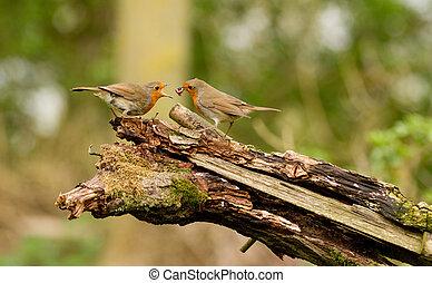 Robin redbreast - robin feeding her fledgling