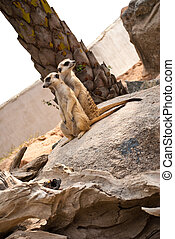 Meerkats in the nature - Image of Meerkat in the wild life