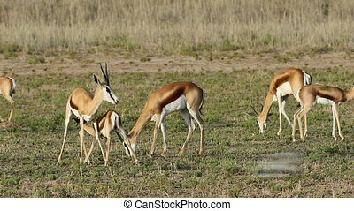 Springbok and lamb - Grazing springbok antelopes (Antidorcas...