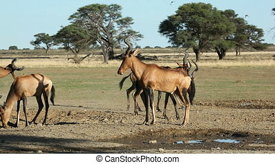 Red hartebeest and doves - Red hartebeest Alcelaphus...