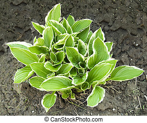 new growing hostas in spring