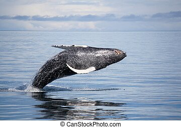 Whale-3 - whale leaping out of water, Price William Sound...