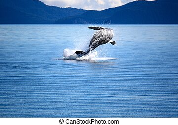 Whale-2 - whale leaping out of water, Price William Sound...