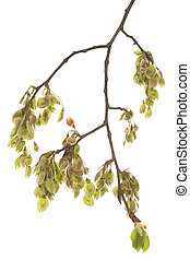 branch elm - young branch elm (Ulmus) on white background
