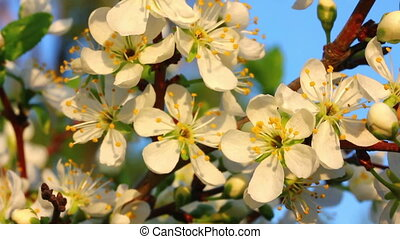 cherry tree flowers macro