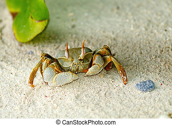 Large Sand Crab looking up on ocean beach background