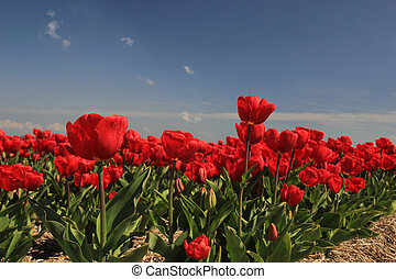 Red tulips on a field