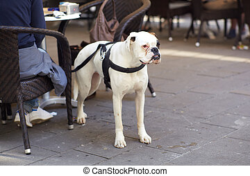 White dog - Photo of a White dog next to a chair in the bar