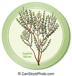 English Thyme Herb Icon - English thyme icon, popular garden...