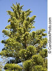 Araucaria, heterophylla
