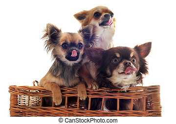 hungry chihuahuas - three hungry chihuahuas in front of...