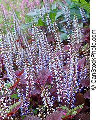 Colorful field of coleus flowers