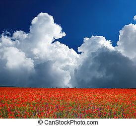 Field of flowering poppies