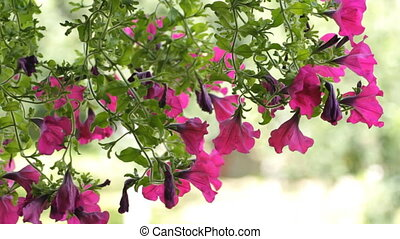 beautiful petunia flowers