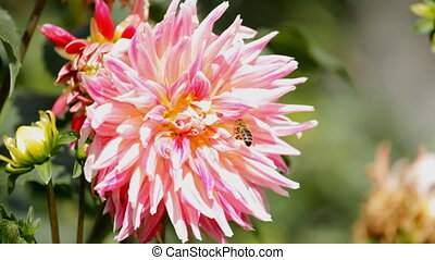 Red Dahlia and bee