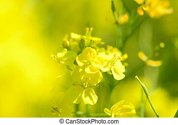 Rape blossoms (close-up). Shooting in the spring of Japan.