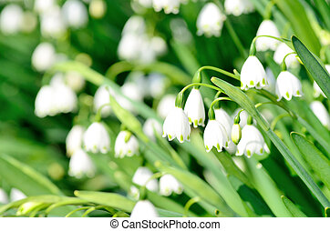 Blooming Lily-of-the-valley (close-up). Shooting in the...