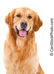 golden retriever dog sitting on isolated white - purebred...