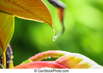 Raindrop suspended from a leaf - Glistening raindrop or...