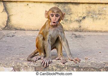 indian monkeys , India, Rajasthan, Jaipur,