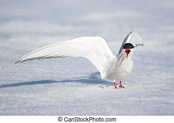 Arctic tern - Spitsbergen