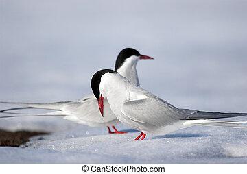 Arctic terns mating