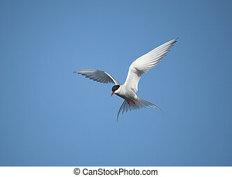 Arctic tern on the fly